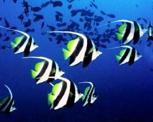peces polinesia francesa