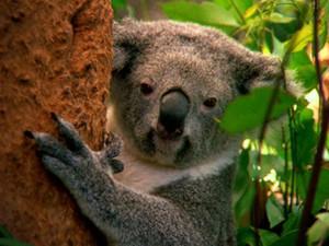 Agencia de viajes especializada en Australia koala