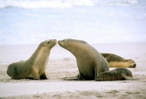 Sealions, Kangaroo Island, SA