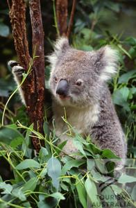 Koala Viajes a Australia