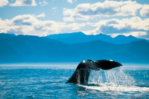 Nueva Zelanda cola de ballena Kaikoura