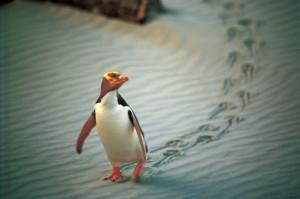 Nueva Zelanda pinguino de ojos amarillos