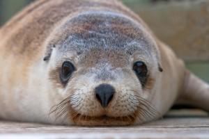 Southern-Ocean-Lodge_Kangaroo-Island_Seal-572