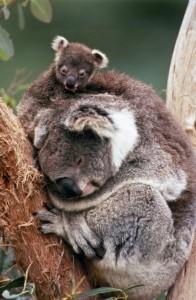 koalas agencia viajes australia