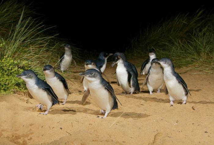 Pingüinos, Canguros y Koalas